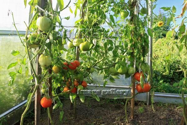 Как правильно пасынковать томаты в теплице Схема Фото Видео